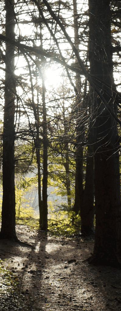 Dunkler Tannenwald durch den die Sonne durch die Tannenäste strahlt.
