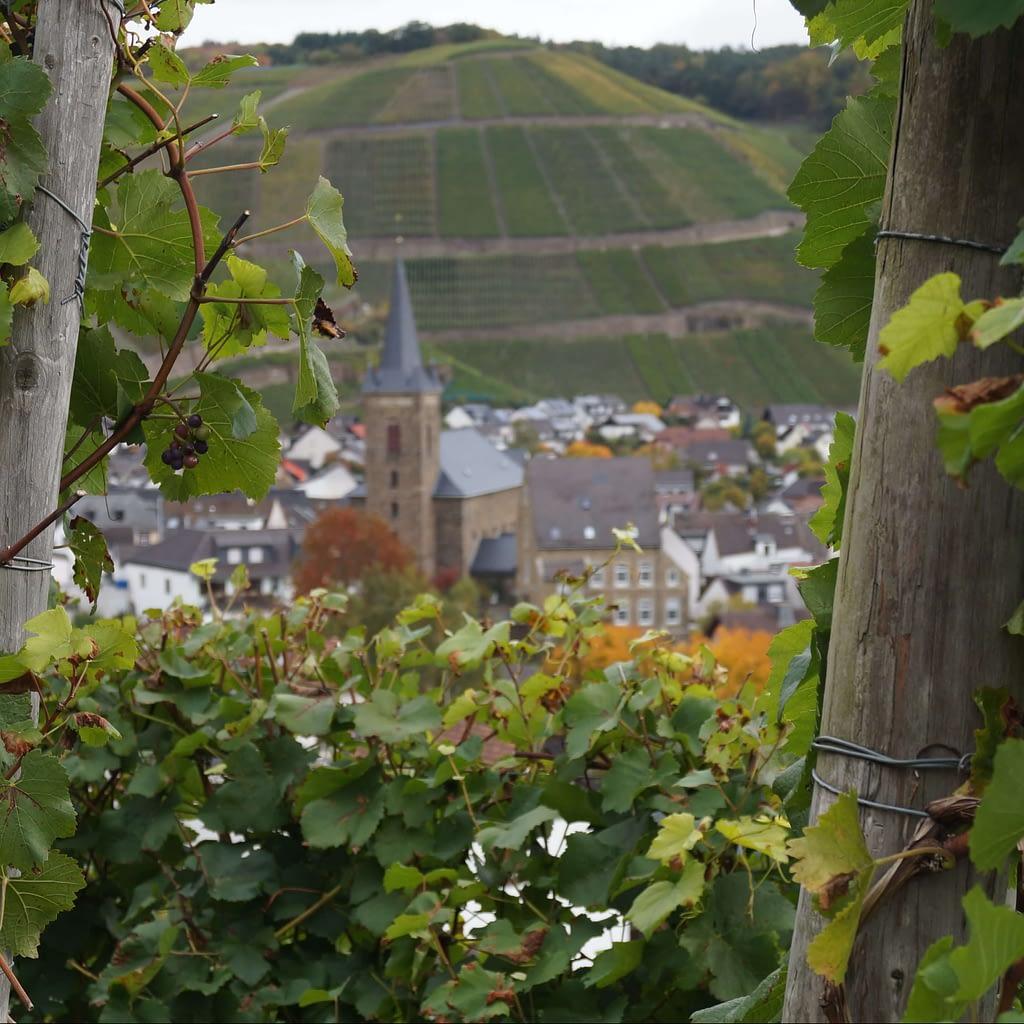 Die St. Johannes Apostel Kirche Dernau im Hintergrund, im vordergrund Weinberg mit Weinreben.